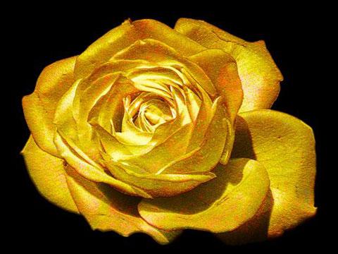 golden-rose-for-web