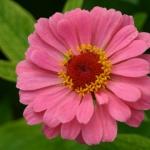 bulgaria-pink-flower-480x360.jpg