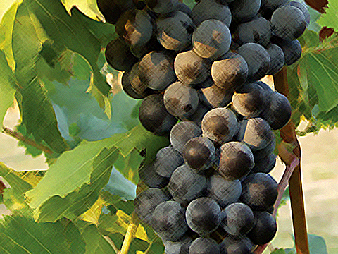 hanging-red-grapes-filtered-480x360
