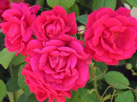 baba-iliitsa-house-museum-roses