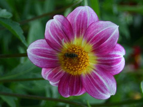balchik-flower-blossom