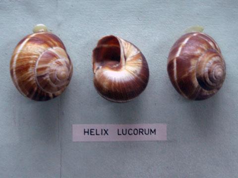 black sea snails
