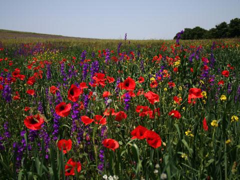 wildflowers-11